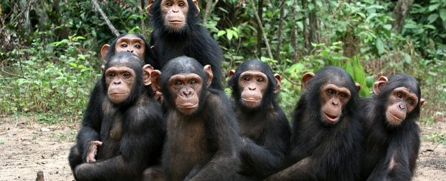 USAID intervention boosts Tanzania chimpanzee survival